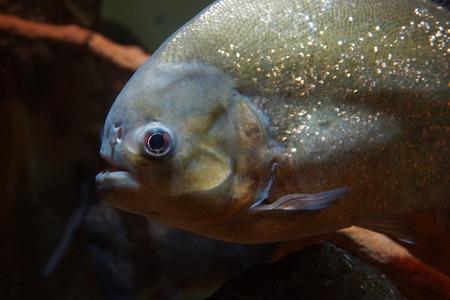 submerge: River Predator - A Red-bellied Piranha - Pygocentrus nattereri