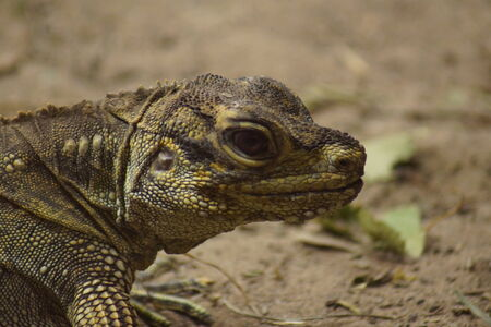 sailfin: A Sail-fin Lizard - Hydrosaurus pustulatus in the wild Stock Photo