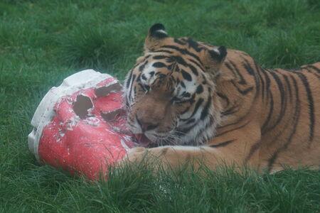 panthera tigris: Un tigre siberiano grande - Panthera tigris altaica Foto de archivo