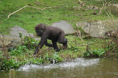 western lowland gorilla: A Western Lowland Gorilla - Gorilla gorilla gorilla