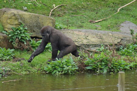 western lowland gorilla: Un Western Lowland Gorilla - Gorilla gorilla gorilla