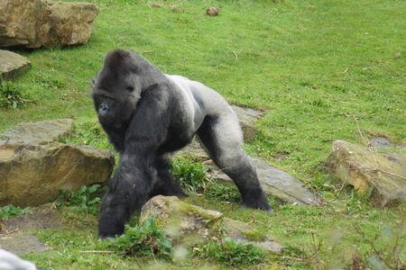 western lowland gorilla: Un Gorilla gorilla - Gorilla gorilla gorilla
