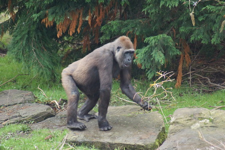 lowland: A Western Lowland Gorilla - Gorilla gorilla gorilla
