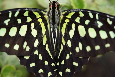 green jay: Vivid mariposa tropical - Jay verde - Graphium Agamen�n