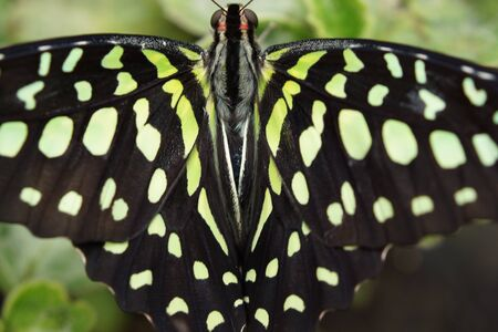 jay: Vivid tropical butterfly - Green Jay - Graphium agamemnon