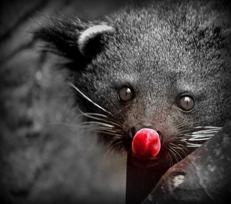 bearcat: A wild Binturong - Arctictis binturong - The Bearcat