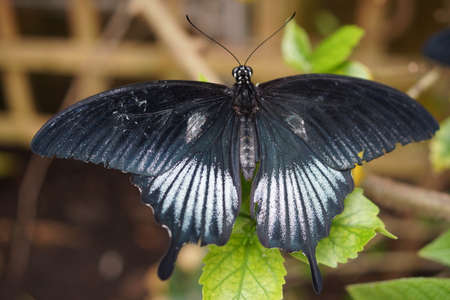creepy crawly: Vivid tropical butterfly Asian Swallowtail - Papilio lowi