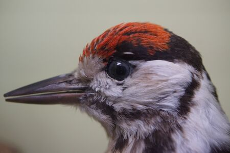 dendrocopos: A wild native Greater Spotted Woodpecker - Dendrocopos major