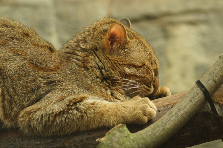 prionailurus: The red Rusty Spotted Cat - Prionailurus rubiginosus