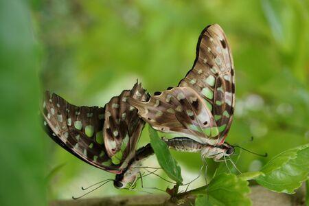green jay: Un par de apareamiento de Jay verde mariposa - Graphium Agamen�n