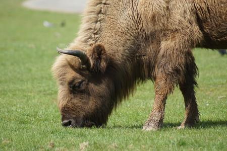 bovid: The European Bison or Wisent - Bison bonasus