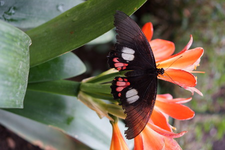 creepy crawly: Vibrant tropical butterfly - True Cattleheart - Parides arcas