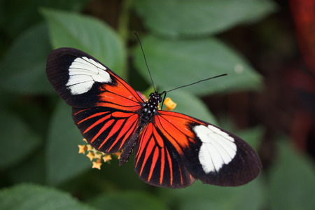creepy crawly: Vivid tropical butterfly - Common Postman - Heliconius melpomene Stock Photo