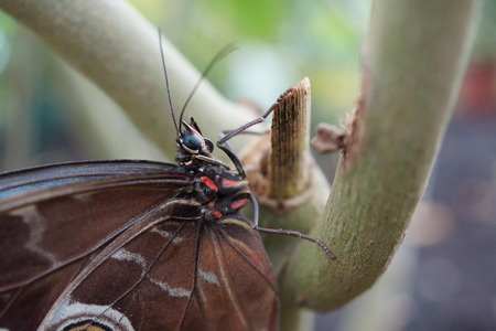 creepy crawly: Vivid tropical butterfly - Blue Morpho - Morpho peleides