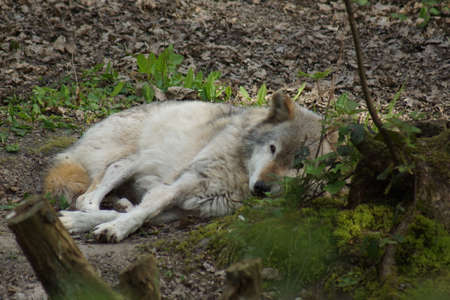 lupus: A large wild Grey Wolf - Canis lupus Stock Photo