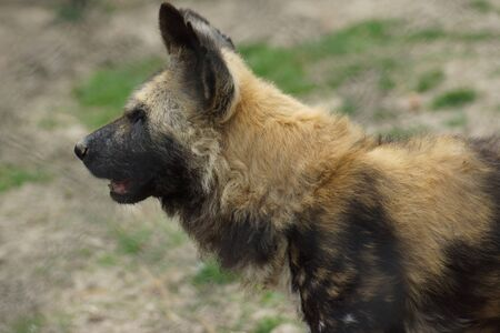 lycaon pictus: Wild Dog - African Hunting Dog - Lycaon pictus Stock Photo