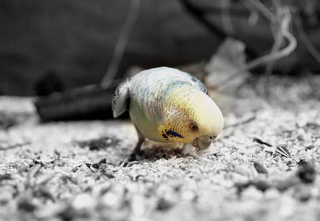 undulatus: A small domestic colourful Budgerigar - Melopsittacus undulatus