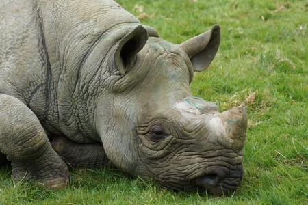Een Eastern Black Rhinoceros - Diceros bicornis Michaeli
