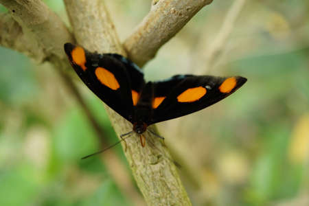 grecian: Vibrant tropical butterfly - Grecian Shoemaker - Catonephele numilia Stock Photo