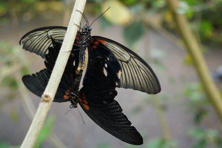 papilio: A mating pair of tropical Great Mormon - Papilio memnon