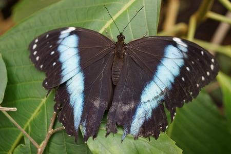 crawly: Vivid tropical butterfly - Banded Morpho - Morpho achilles Stock Photo