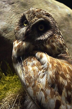 nocturnal: A native UK nocturnal Short-eared Owl - Asio flammeus Stock Photo
