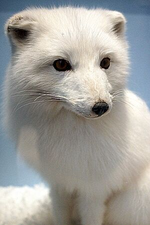 canid: A small white adorable Arctic Fox - Vulpes lagopus