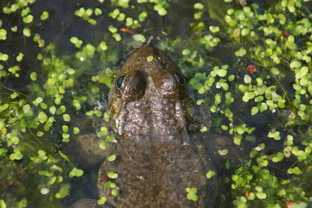ridibundus: A wild submerged Marsh Frog - Pelophylax ridibundus Stock Photo