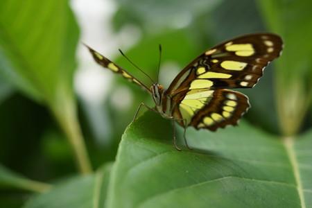 malachite: Vivid tropical butterfly - The Malachite - Siproeta stelenes