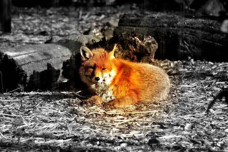 sneaky: A vibrant UK native Red Fox - Vulpes vulpes Stock Photo