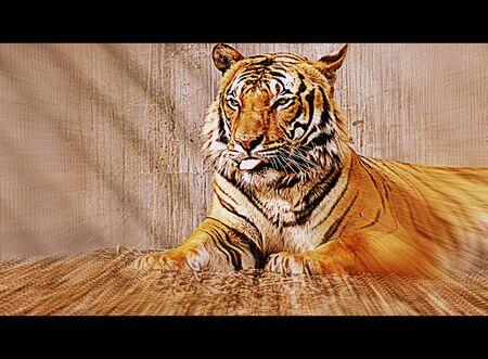 panthera tigris: A large Malayan Tiger - Panthera tigris jacksoni