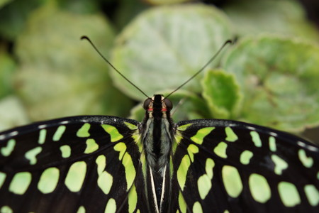 green jay: Vivid tropical butterfly - Green Jay - Graphium agamemnon