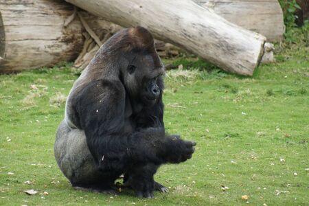 lowland: A Western Lowland Gorilla  Stock Photo