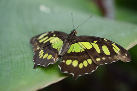 insecta: Vivid tropical butterfly - The Malachite - Siproeta stelenes