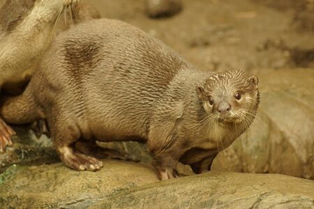 otter: A wild aquatic Smooth-coated Otter - Lutrogale perspicillata