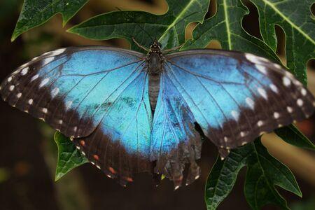 creepy crawly: Vivid tropical butterfly - Common Blue Morpho - Morpho peleides Stock Photo