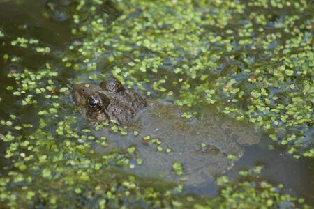 amphibia: A wild submerged Marsh Frog - Pelophylax ridibundus Stock Photo
