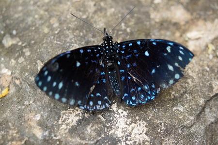 A vibrant butterfly Starry Cracker - Hamadryas laodamia