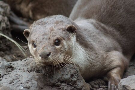 A wild aquatic Smooth-coated Otter - Lutrogale perspicillata