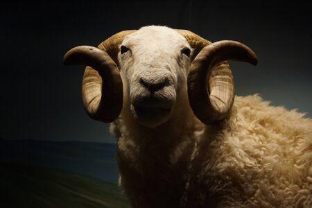 ovis: A Wild White-faced Woodland Sheep Ram - Ovis aries