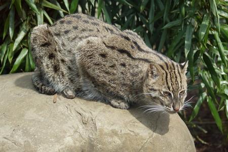 prionailurus: A wild carnivorous Fishing Cat - Prionailurus viverrinus Stock Photo