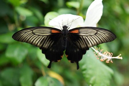 creepy crawly: Vivid tropical butterfly - Great Mormon - Papilio memnon