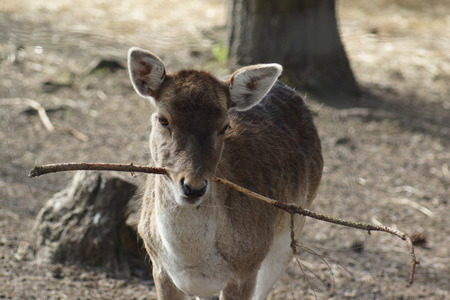 fallow deer: A wild native Fallow Deer - Dama dama Stock Photo