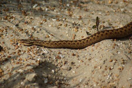 serpentes: A wild UK native Adder - Vipera berus
