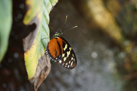 crawly: Pteronymia notilla - vibrant tropical butterfly on a flower