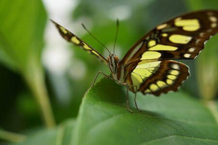crawly: Vivid tropical butterfly - The Malachite - Siproeta stelenes