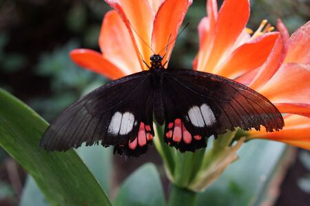 creepy crawly: Vibrant tropical butterfly - True Cattleheart - Parides arcas