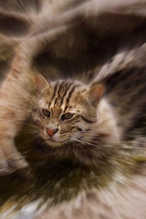 felid: A wild carnivorous Fishing Cat - Prionailurus viverrinus Stock Photo