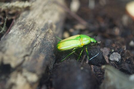 aurata: A Giant Metallic Green Fruit Beetle - Coelorrhina aurata Stock Photo