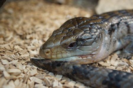 reptilia: An Australian Blue Tongue Skink - Tiliqua scincoides